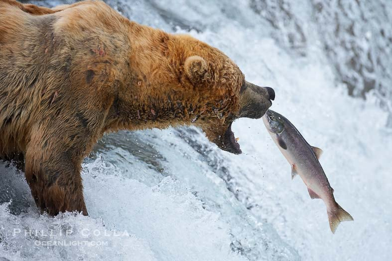 Watch Brown Bears Eating Salmon: Live Webcam